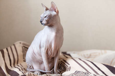 Calm cat sphinx sitting on a sofa in the bedroom Stock Photo - 18428177