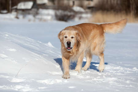 Beautiful golden retriever running on snow in winter season photo