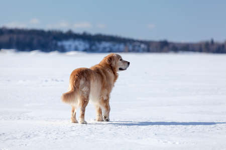 Beautiful golden retriever standing on ice field of frozen lake in winter season photo
