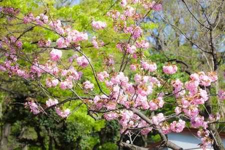sakura arbol: Flor de cerezo japon�s (sakura �rbol) con flores de color rosa contra el follaje verde de �rboles, Jap�n Foto de archivo
