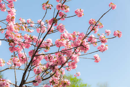 Japanese cherry (sakura) blossom with pink flowers on the tree on blue sky background, Japan photo