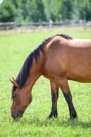 Chestnut konia wypasu w łąki zbliżenie widoku photo
