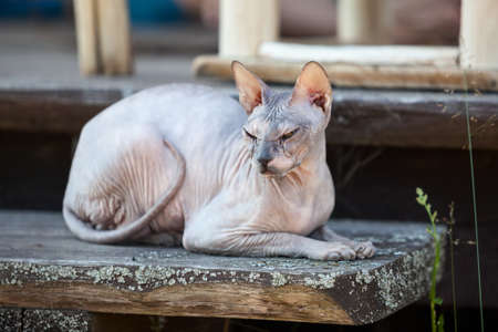 Don Sphynx cat lying on wooden porch