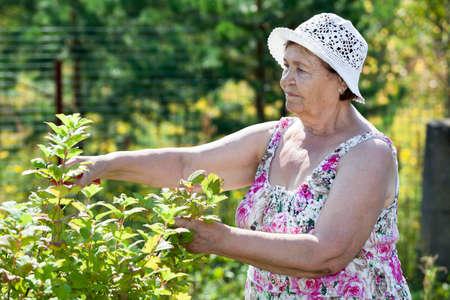 pruner: Senior woman pruning bushes with pruner in garden Stock Photo