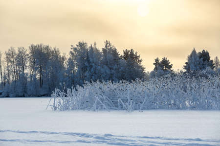 Sunset on a winter forest lake with reed covered with snow on shore photo