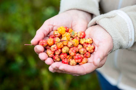 chicouté: A handful of full ripe cloudberry, womens hands