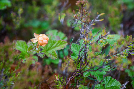 marshes: Overripe cloudberry with water drops is on the marshes in North Karelia