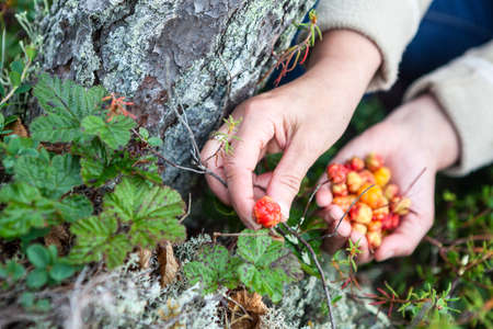chicouté: Female hand picking red ripe cloudberry from the green bush into palm Banque d'images