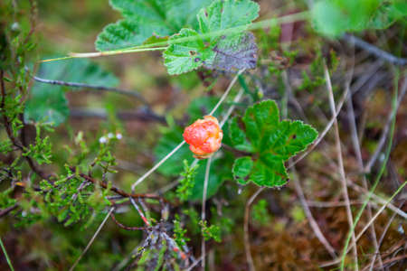 chicouté: Red cloudberry berry with water drops is on the marshes in North Karelia