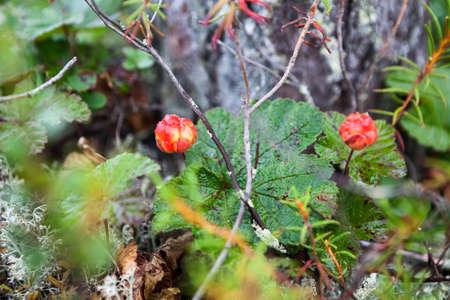 chicouté: baies chicouté rouges poussent sur les marais en Carélie du Nord