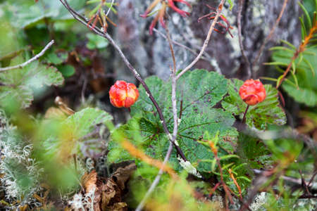 chicouté: Red cloudberry berries growing on the marshes in North Karelia