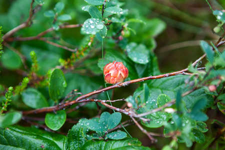 chicouté: Ripe cloudberry berry with water drops is on the marshes in North Karelia Banque d'images