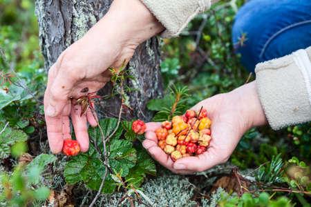 chicouté: Femme ramasser chicouté rouges mûrs sur les marais du nord, les mains close-up Banque d'images