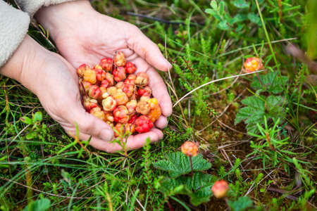 moss: A fistful of gathered ripe and overripe cloudberries, womens hands