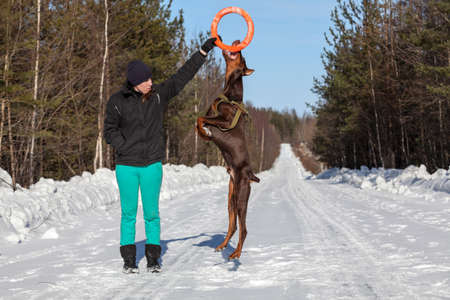 Brown doberman dog jumping for the ring in the hands of a woman and holding it with teeth Stock Photo