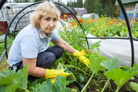 excess: Woman gardener with scissors cuts the excess stems from zucchini growing in a greenhouse