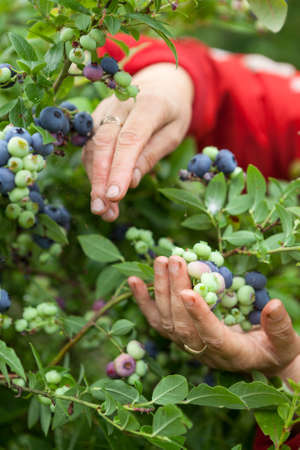 Female hands collecting blue berries of blueberry, close up view