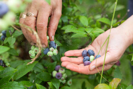 picking fingers: Female fingers picking blue berries of blueberry from bush, close up view