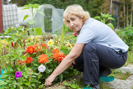 Middle aged woman taking care for color dahlia flowers in her flowerbed in garden