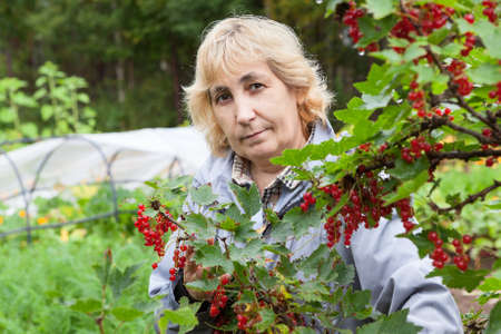red currant: Mature gardener growing red currant in her kitchen garden, ripe berries Stock Photo