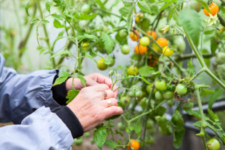 Hand of female gardener picking tomatoes in greenhouse Stock Photo