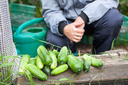 doorstep: Harvest of cucumbers at the doorstep of the greenhouse Stock Photo