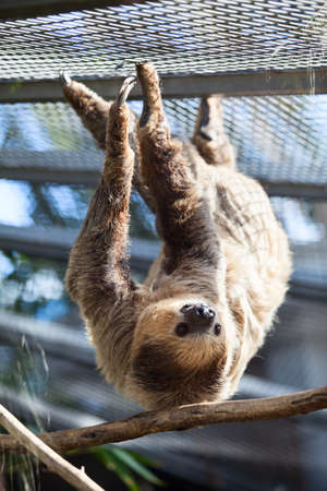 toed: Two-toed Linnaeus Sloth hanging on the tree branch. The Loro Parkue in Puerto de la Cruz, Tenerife, Canary, Spain Stock Photo