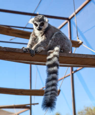 The ring-tailed lemur (Lemur catta) with long, black and white ringed tail