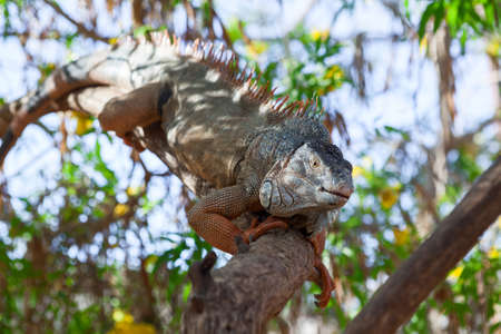 Colorful iguana climbing on the tree branch and warming on sun