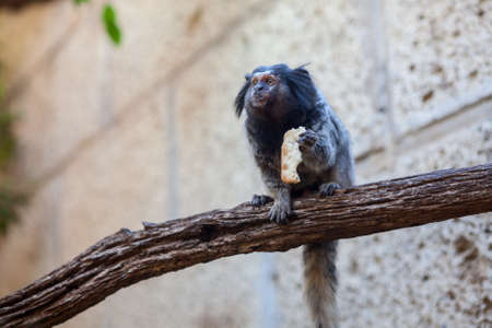 Black tufted marmoset sitting on tree with food in paws