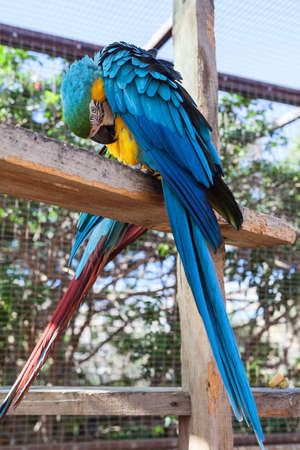 Blue large parrot with yellow neck and chest and green spot on the head. Cleans feathers with beak.