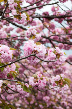 Large pink flowers of cherry blossom tree close up view of japanese large pink flowers of cherry blossom tree close up view of japanese sakura stock mightylinksfo