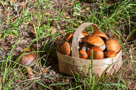 Red and orange mushrooms in the birchbark basket in forest on the earth