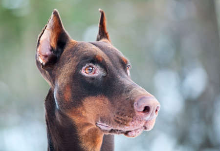 Close-up of brown Dobermann dog head Stock Photo
