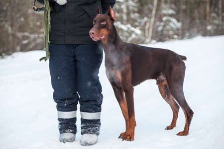 Brown doberman dog standing near man dog-fancier at snow, cold winter season