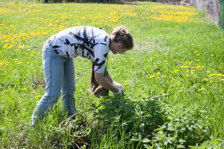Mature Caucasian woman picking leaves of fresh nettle on spring meadow with scissors in protective gloves