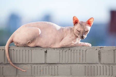 Sphinx cat laying in the sunshine on rail of balcony at day Reklamní fotografie - 109065153