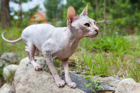 Don sphynx cat braces for jump somebody in grass, standing on stones Stock Photo