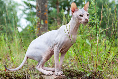 Sphynx cat standing in point in green grass, walking outdoor Stock Photo
