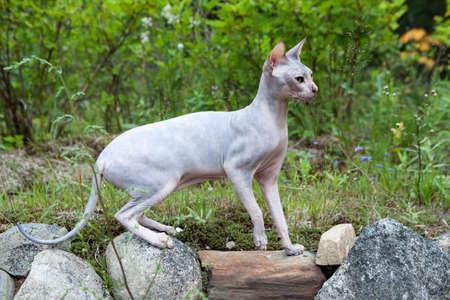 Sphynx cat walking outdoors at summer season Stock Photo