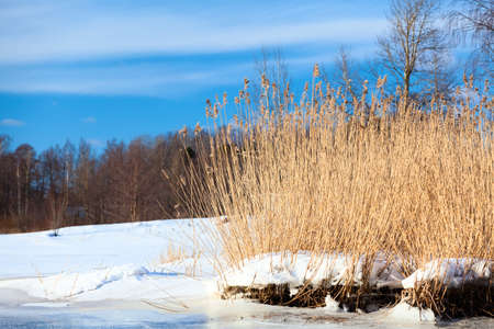 Dry golden reed on the lake, reed layer, reed seeds. Natural background with beautiful view at winter sunny weather 스톡 콘텐츠