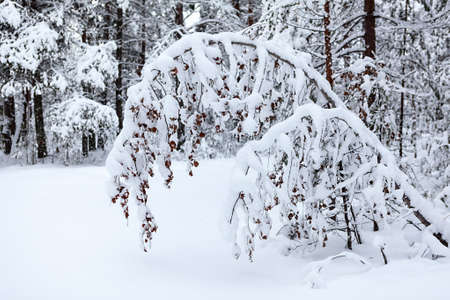 Tree branch hanging under the weight of heavy snow in a winter cold forest