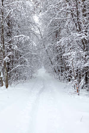 Snowy pathway is in a winter forest, snow covered trees, nobody