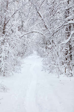 Snowy narrow pathway is in winter forest, snow covered branches of trees, nobody