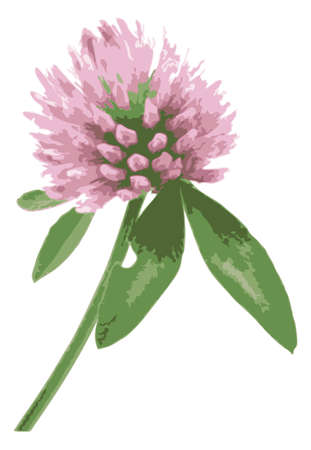 red clover: illustration of a red clover