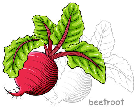 beetroot: vector illustration of a drawn beetroot