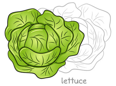 vector illustration of a fresh lettuce head