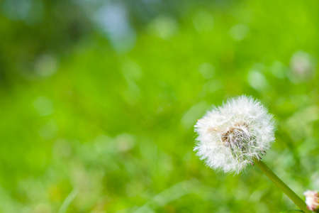 Dandelion on background green grass. Macro. Fluffy white head of a dandelion. Lush green grass in the background.
