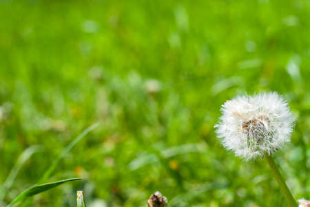 Photo for postcard. Place the graphic on a green background. Dandelion on background green grass. Macro. Fluffy white head of a dandelion. Lush green grass in the background.