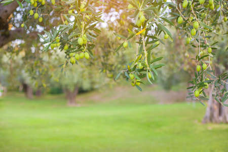 The branches of the olive tree with fruit in the foreground. Natural green background with selective focus. Crop for the production of olive oil close-up. Standard-Bild